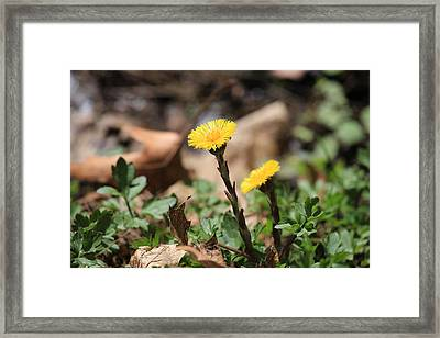 Coltsfoot Framed Print