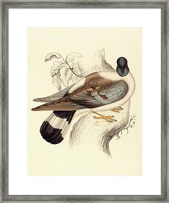 Columba Leuconota, Snow Pigeon Framed Print by Elizabeth Gould