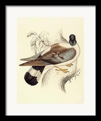 Pigeon Framed Prints
