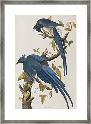 Columbia Jay Framed Print by John James Audubon