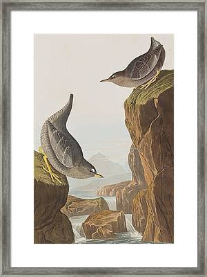 Columbian Water Ouzel Or Arctic Water Ouzel Framed Print by John James Audubon