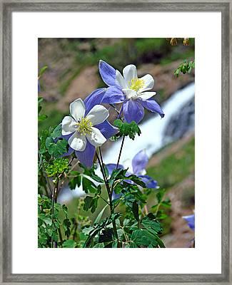 Columbine 3 Framed Print