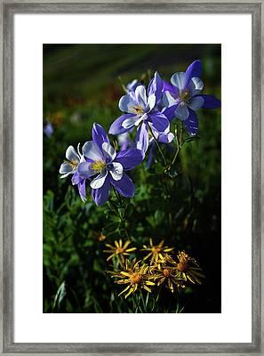 Columbine Colorado Framed Print