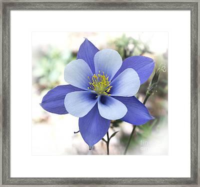 Columbine - Colorado State Flower Framed Print by Dennis Wagner