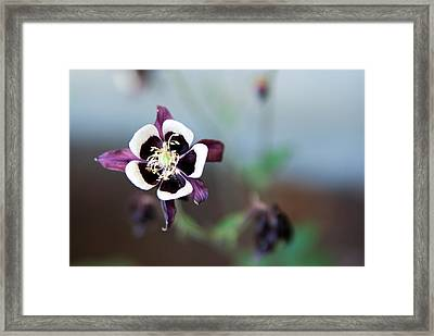 Framed Print featuring the photograph Columbine by Erin Kohlenberg