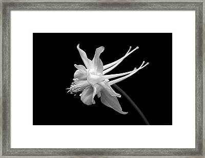 Columbine Flower Portrait Black And White Framed Print by Jennie Marie Schell