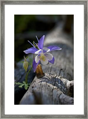 Columbine Framed Print by G Wigler