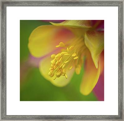 Framed Print featuring the photograph Columbine by Greg Nyquist
