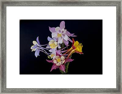 Framed Print featuring the photograph Columbine Medley by Gary Lengyel