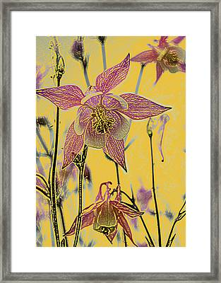 Columbine  Framed Print by Michael Peychich
