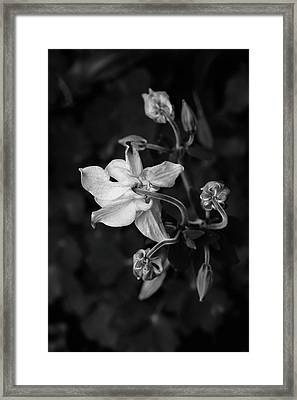 Columbine Framed Print by Rodger Werner