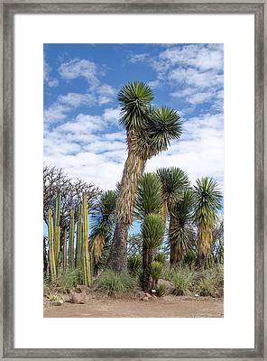 Columnar Cacti And Yucca Trees Framed Print