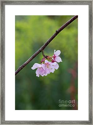 Columnar Sargent Cherry Blossom Framed Print by Tim Gainey