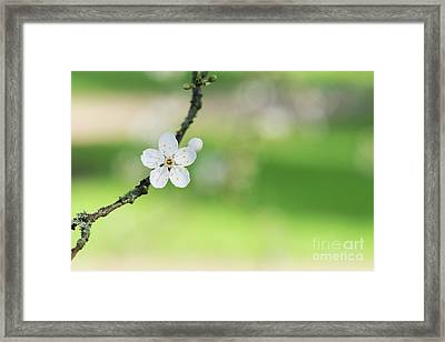 Cherry Plum Blossom Framed Print by Tim Gainey