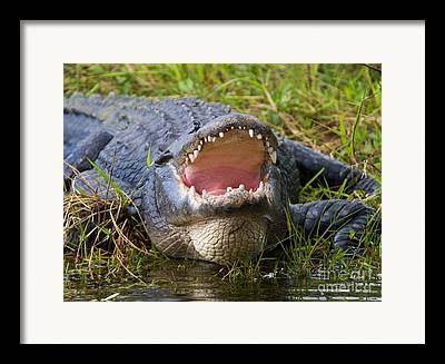 Florida Aligator Framed Prints