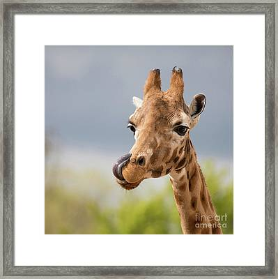 Comical Giraffe With His Tongue Out.  Framed Print by Jane Rix