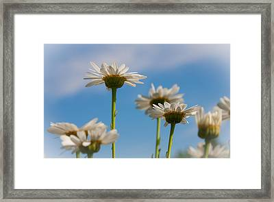 Coming Up Daisies Framed Print