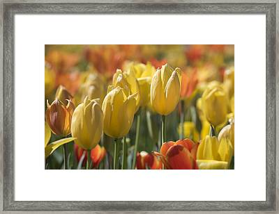 Coming Up Tulips Framed Print