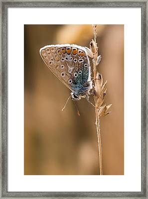 Common Blue Butterfly Framed Print by Ian Hufton