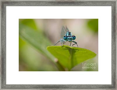 Common Blue Damselfly Framed Print by Jivko Nakev