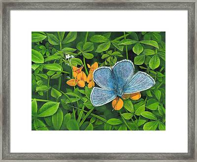 Common Blue On Bird's-foot Trefoil Framed Print