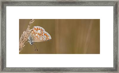 Common Blue Roosting Framed Print