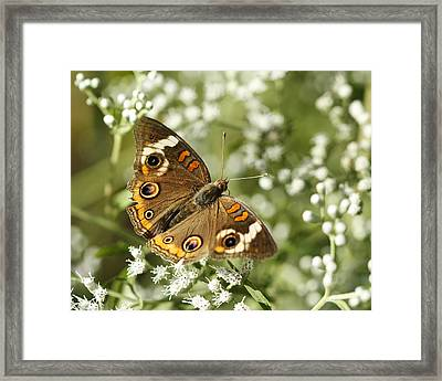 Common Buckeye Butterfly On White Thoroughwort Wildflowers Framed Print