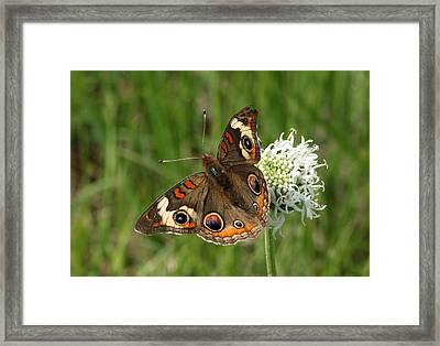 Common Buckeye Butterfly On Wildflower Framed Print by Sheila Brown
