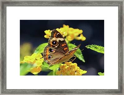 Common Buckeye On Flower Framed Print