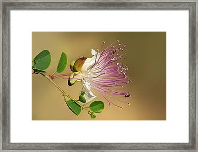Common Caper Framed Print by Yuri Peress