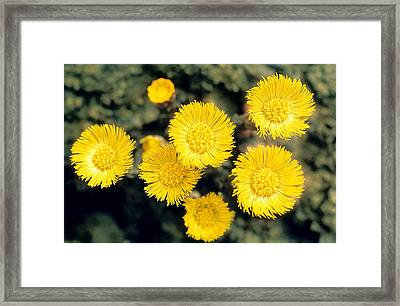 Common Coltsfoot  Framed Print
