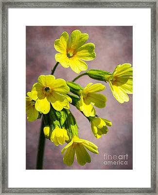 Common Cowslip In The Morning Sunlight Framed Print