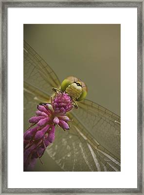 Common Darter Dragonfly Framed Print