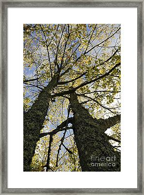 Common Elms In Autumn Framed Print