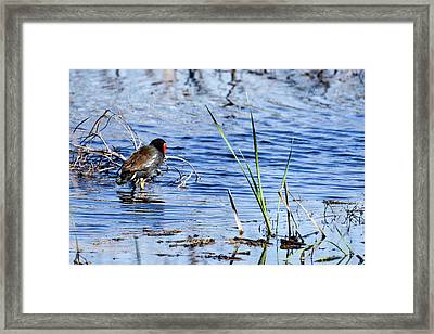 Framed Print featuring the photograph Common Gallinule by Gary Wightman