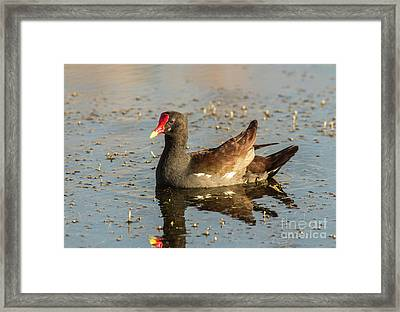 Framed Print featuring the photograph Common Gallinule by Robert Frederick