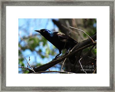 Common Grackle Framed Print by Deborah Johnson