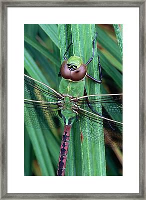 Common Green Darner Framed Print by Bill Morgenstern
