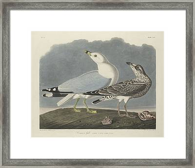 Common Gull Framed Print by Rob Dreyer