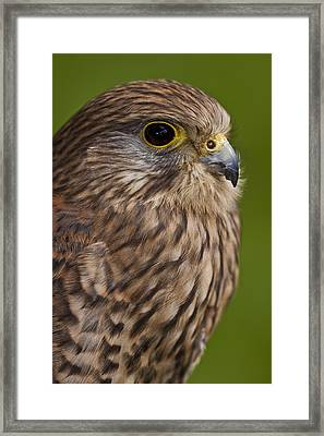 Common Kestrel Falco Tinnunculus Framed Print