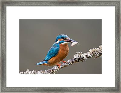 Framed Print featuring the photograph Common Kingfisher 1 by Phil Stone