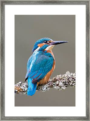 Framed Print featuring the photograph Common Kingfisher 2 by Phil Stone
