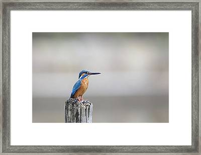 Common Kingfisher 3 Framed Print by Happy Home Artistry
