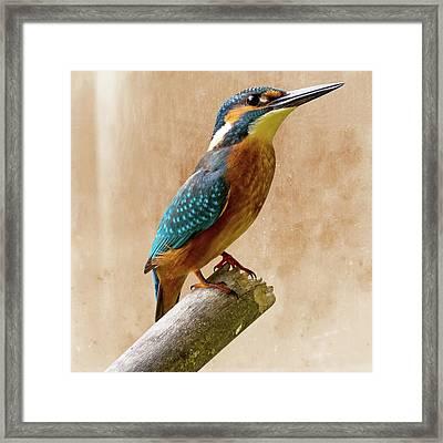 Common Kingfisher Alcedo Atthis Framed Print