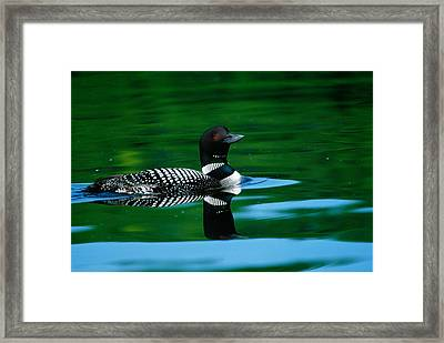 Common Loon In Water, Michigan, Usa Framed Print