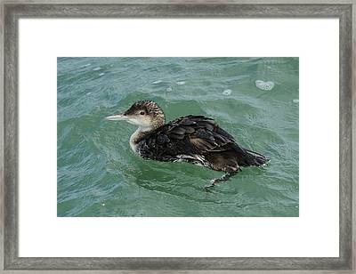 Framed Print featuring the photograph Common Loon In Winter by Bradford Martin