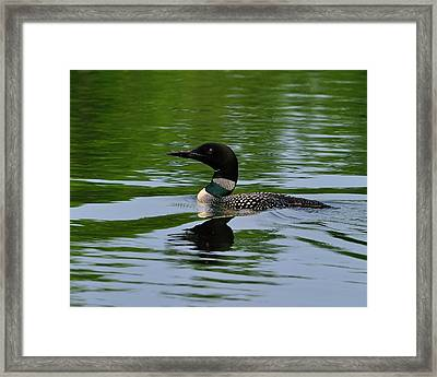 Common Loon Framed Print by Tony Beck