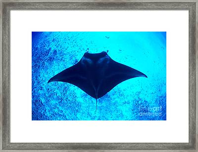 Common Manta Ray Framed Print by Dave Fleetham - Printscapes