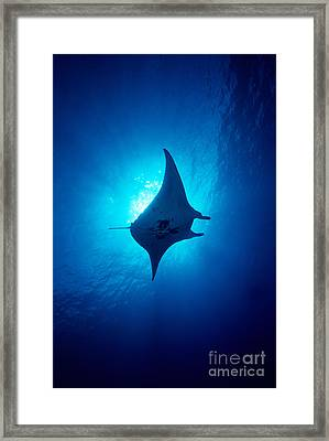 Common Manta Ray Framed Print by Ed Robinson - Printscapes