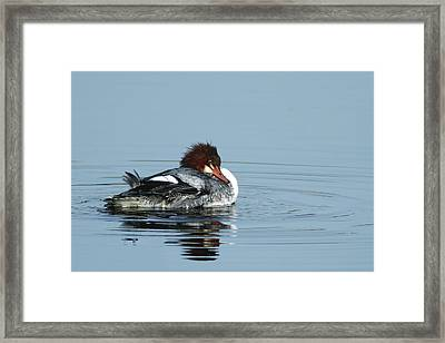 Common Merganser Framed Print